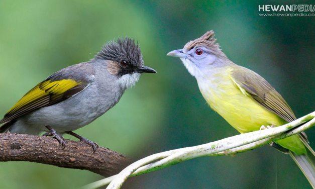 6 Perbedaan Burung Cucak Jenggot dengan Kapas Tembak