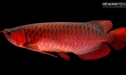 Ikan Arowana, penyakit, jenis dan cara perawatannya