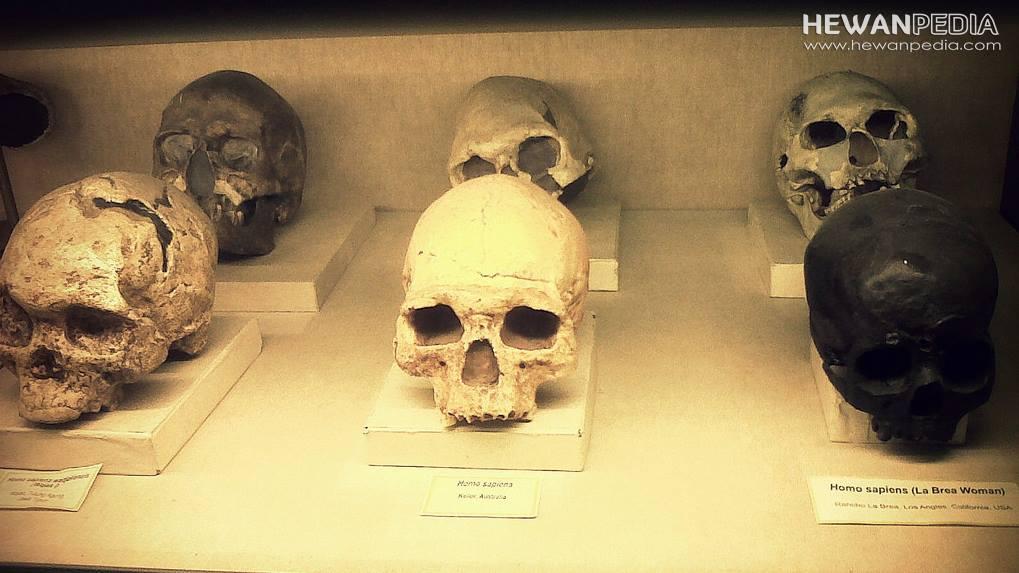 6 Jenis Fosil Manusia Purba Di Indonesia Beserta Nama Penemunya Hewanpedia