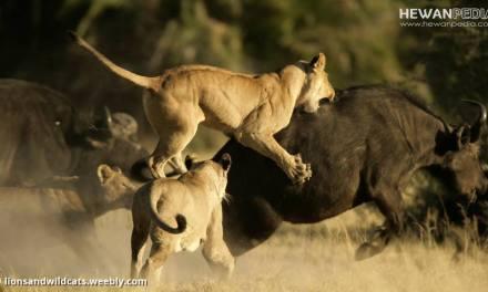 Pengertian Predator serta Peran Predator Dalam Ekosistem