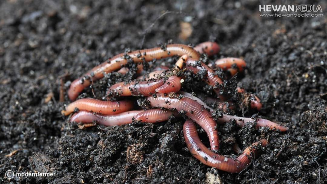Foto Cacing tanah