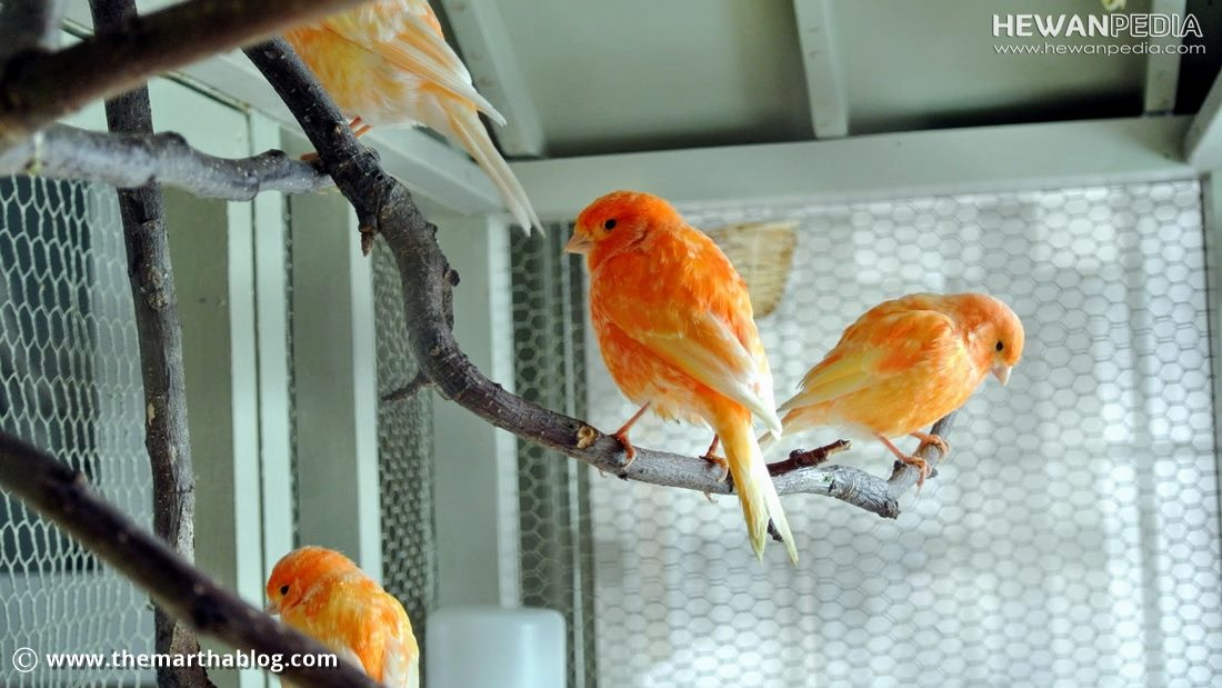 Kandang yang Cocok untuk Ternak Burung Kenari