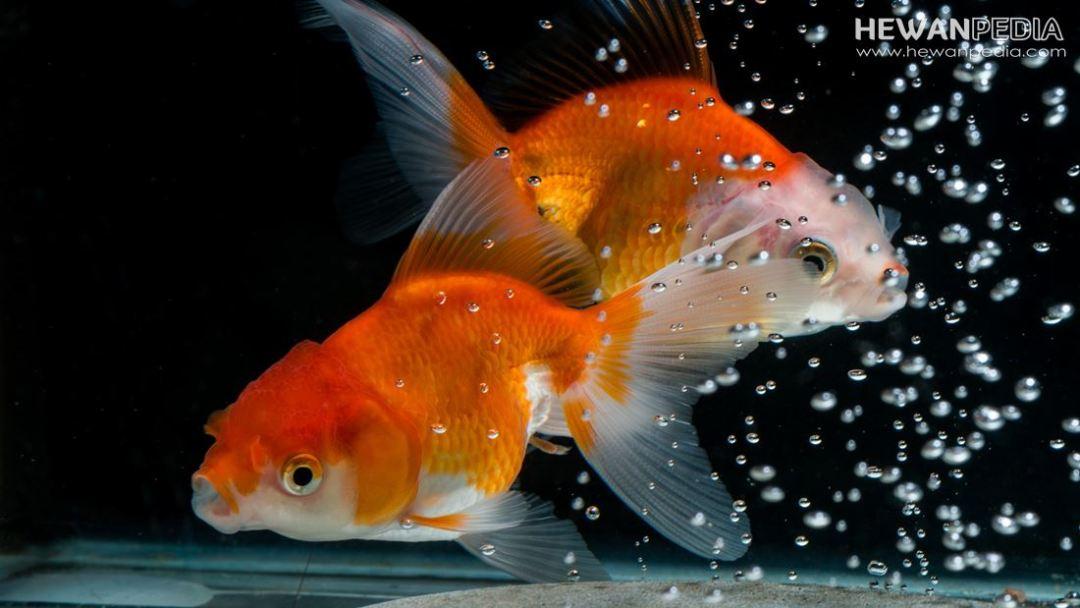 Foto Ikan mas Koki Jantan dan betina