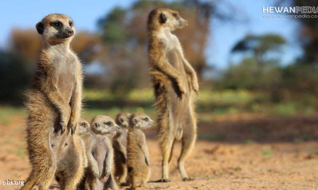 14 Contoh Hewan Dapat Hidup di Lingkungan Gurun atau Savana