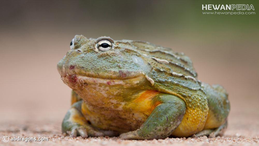 Katak African Bullfrog (Pyxicephalus adspersus) Afrika Selatan