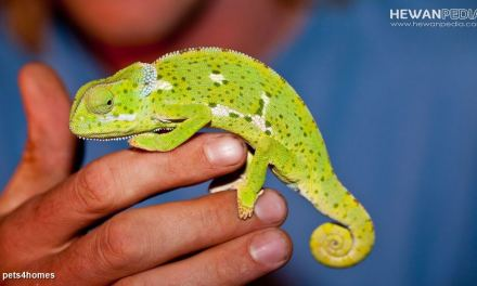 Beberapa Penyakit Kulit di Reptil dan Cara Mengobatinya