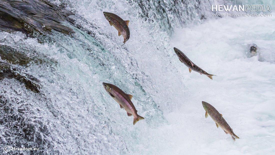 Alasan dan Faktor Migrasi Ikan Salmon Menurut Ilmiah