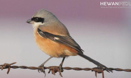 8 Langkah sederhana Cara Memelihara Burung Cendet dari Bayi