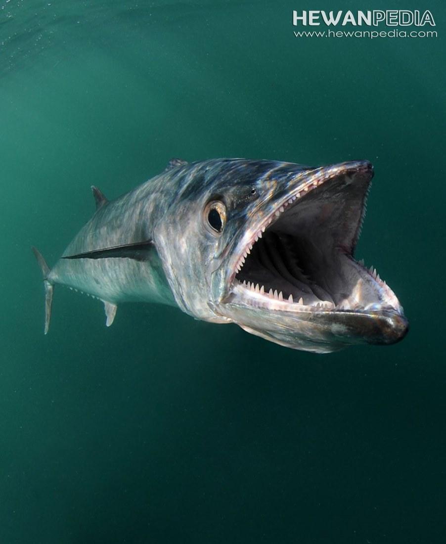 Ikan Cupang Dan Ciri Cirinya