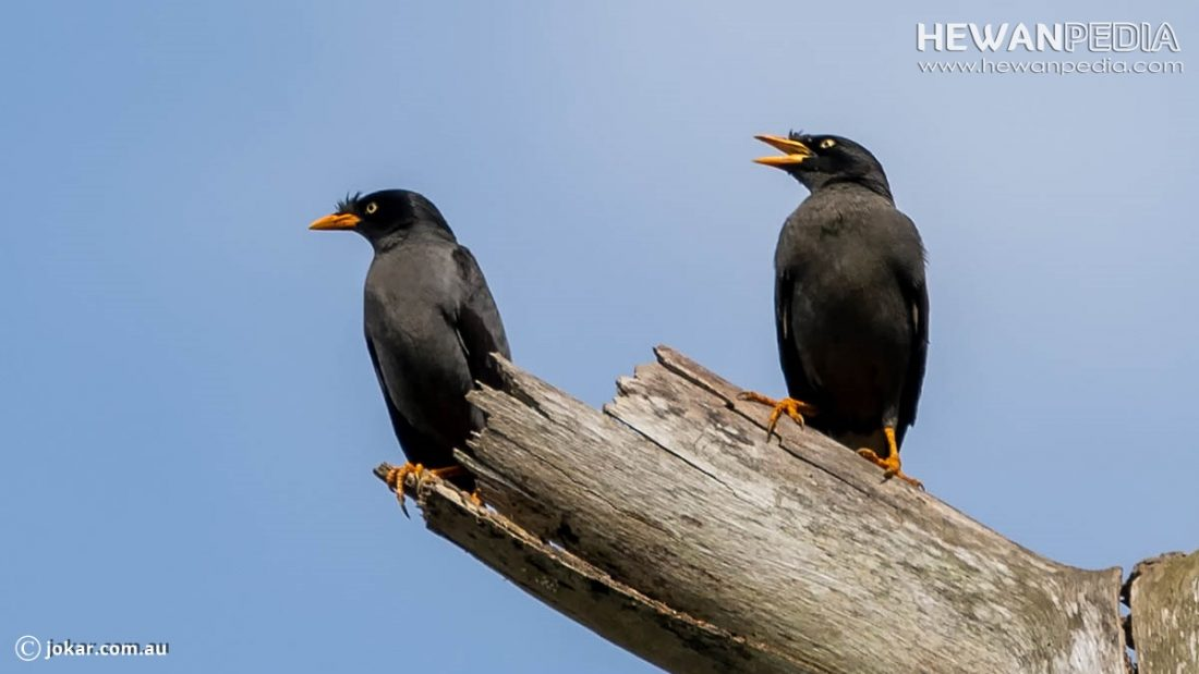 Cara Membedakan Burung Jalak Kebo Jantan Atau Betina Hewanpedia