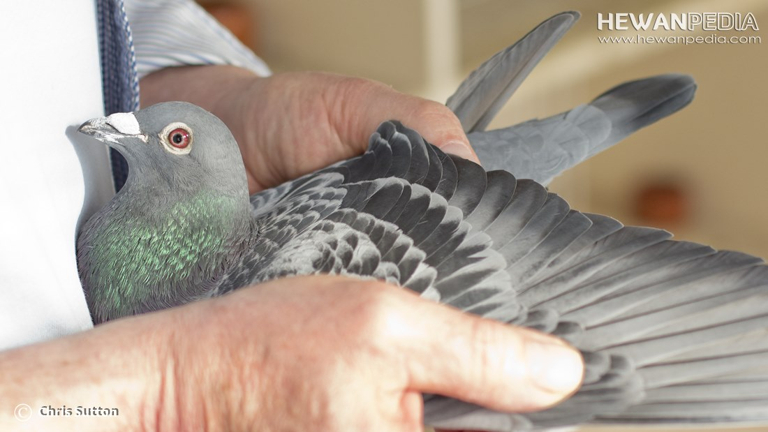 95+  Gambar Burung Merpati Balap Juara Nasional HD Terbaru Free