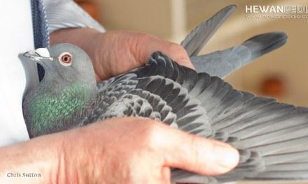 4 Ciri Indukan Burung Merpati Balap yang Menghasilkan Kualitas Juara