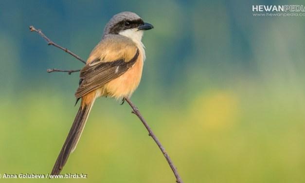 7 Cara Merawat Bulu Ekor Burung Cendet Semakin Bagus