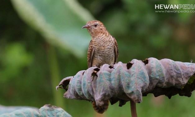 Mitos dan Fakta Burung Emprit Gantil atau Wiwik Kelabu atau Kedasih