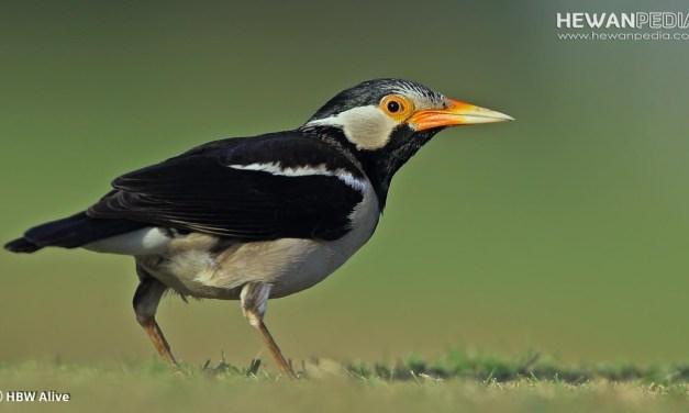 7 Hal yang Harus diperhatikan dalam Memelihara Burung jalak suren