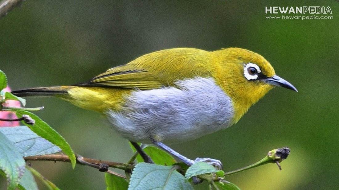 Burung Pleci Dakun Bali Serta Fakta Menariknya Hewanpedia