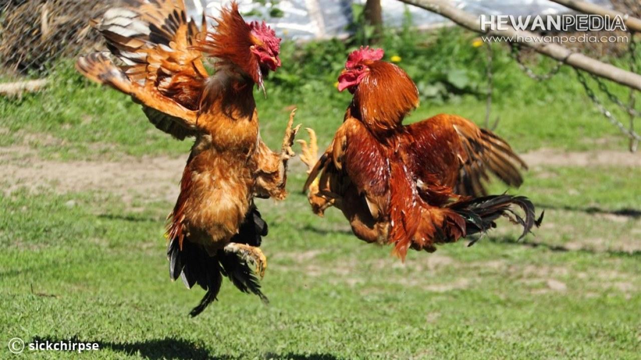 Cara Memandikan Dan Mengatur Nafas Ayam Aduan Hewanpedia
