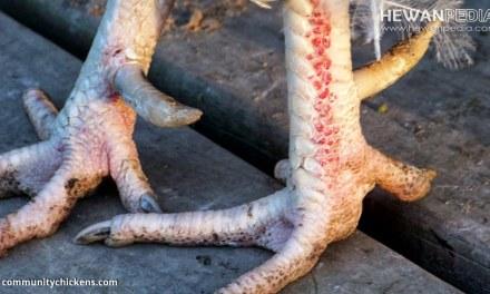 Penyebab dan Cara Mengobati Penyakit Tedun Rambat atau Flek pada Ayam Aduan