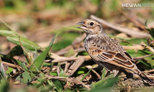 6 Ciri Pasti yang Dapat Membedakan Burung Branjangan Jantan dan Betina