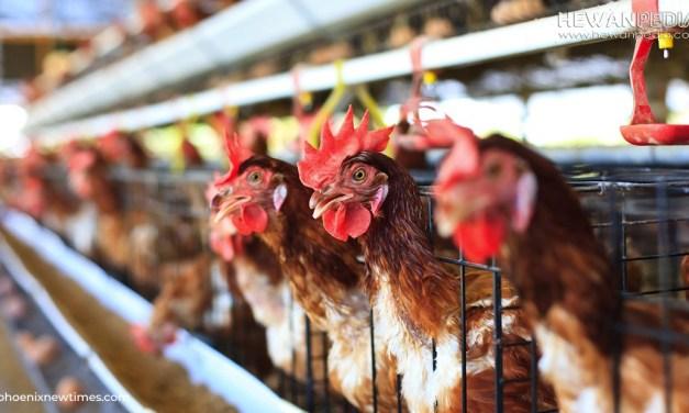 Cara Budidaya Ayam Petelur serta Siklus Produksi dan Pengelolaannya