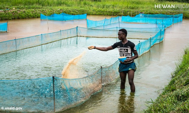 Perhitungan Cara Pemberian Pakan Untuk Ikan Nila untuk Budidaya Kolam dan KJA