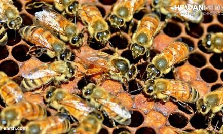 Cara Menjadikan atau Membuat Ratu Lebah Sendiri untuk Budidaya Lebah