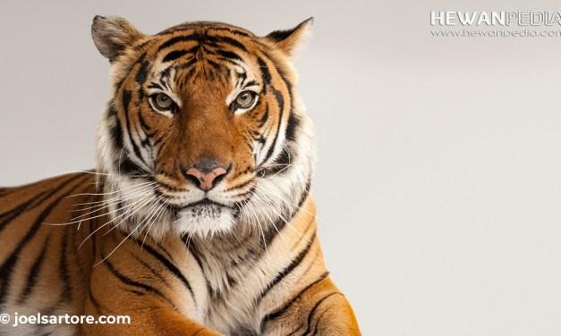 6 Jenis Harimau yang Saat Ini Masih Hidup di Dunia
