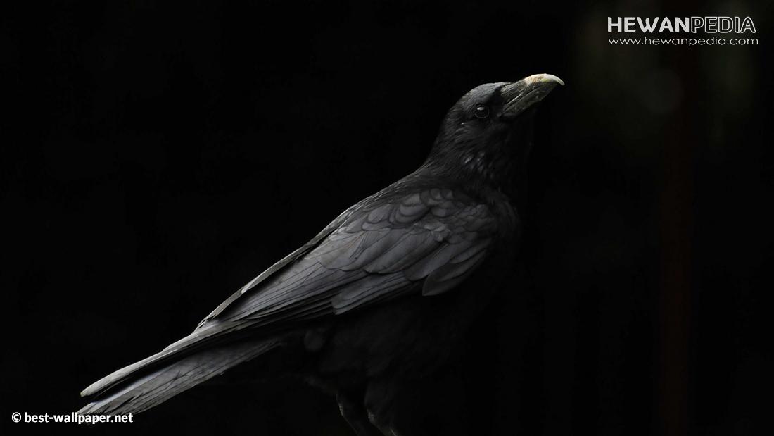 Mitos Kejawen Burung Gagak Sebagai Pemanggil Genderuwo dan Perjudian