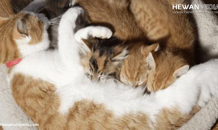 Lama Kucing Menyusui Anaknya hingga Puting Susu Kering