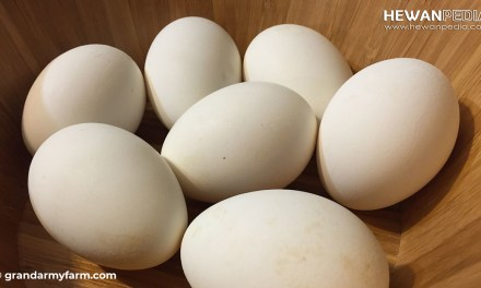 Manfaat dan Kandungan Gizi Telur Angsa Untuk Kesehatan