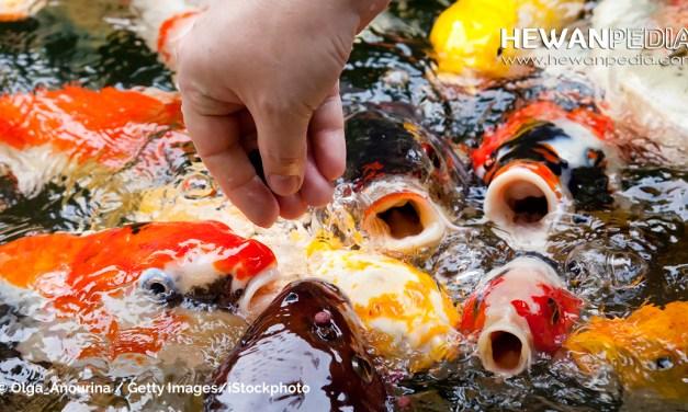 Ini Langkah dan Cara Pemberian Pakan Ikan Koi paling Tepat