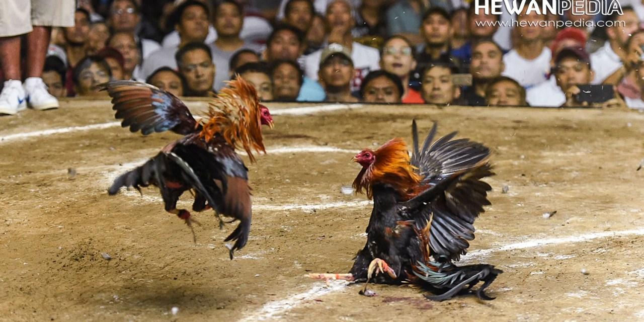 3 Arti Warna Bulu atau Ules Ayam Bangkok