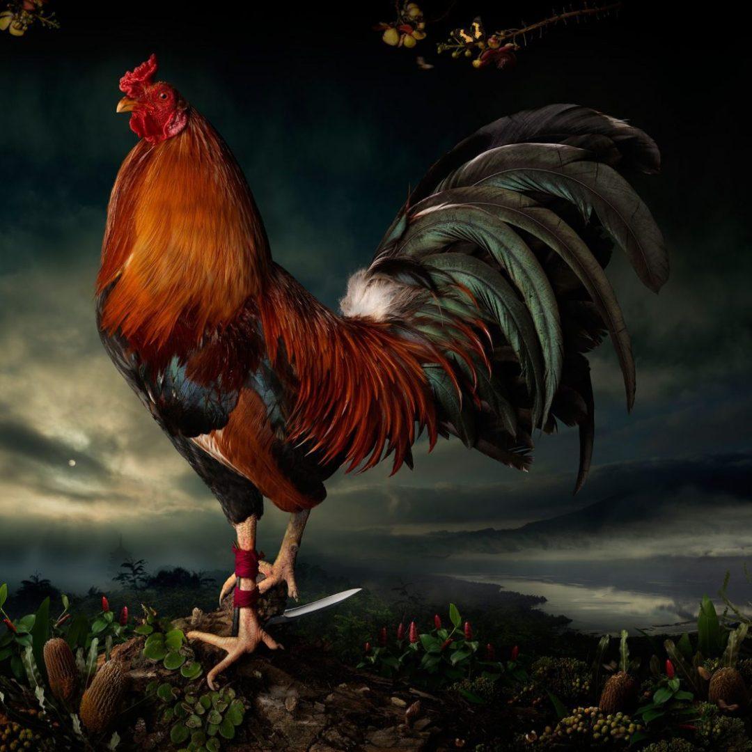Gambar dan Foto Ayam Aduan untuk Wallpaper Handphone