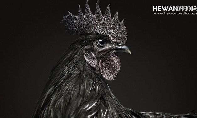 14 Mitos dan Ciri Ayam Suro, Ayam Aduan Dengan Kekuatan Mistis