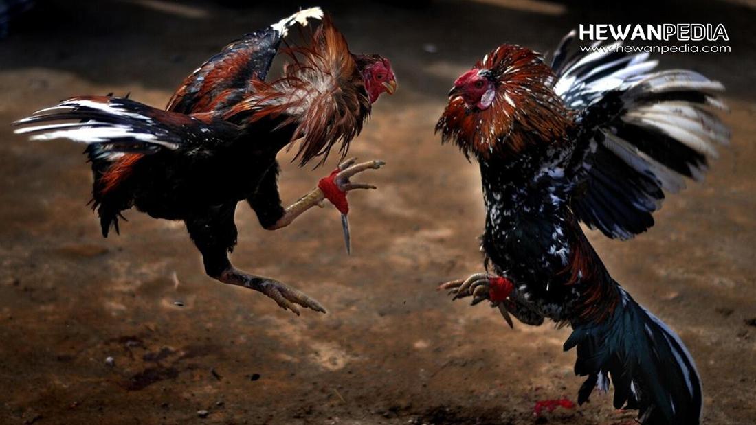 9 Arti Ules atau Bulu Ayam Aduan yang Juara dan Cirinya berdasarkan Mitos