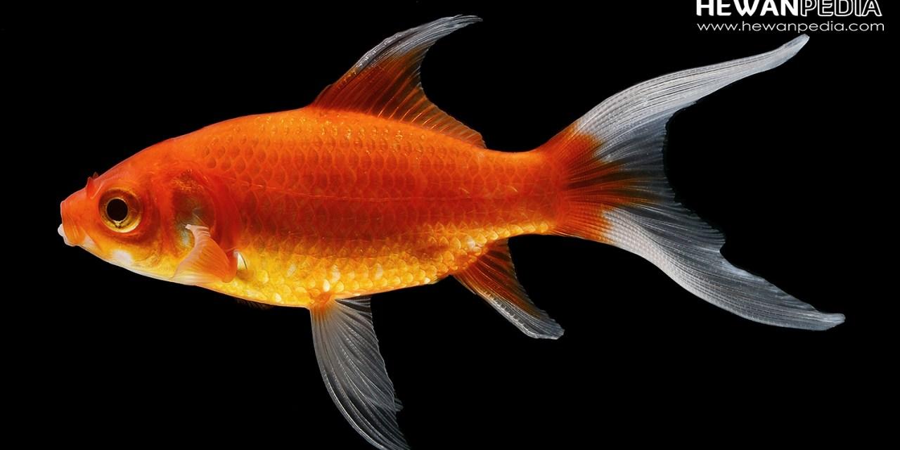 Mengenal Ciri-ciri Lengkap Ikan Mas