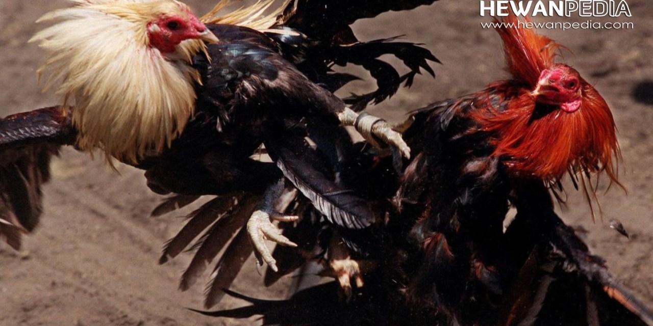 Cara Merawat Ayam Aduan Dari Umur 0 7 Bulan Agar Kuat Dan Juara Hewanpedia
