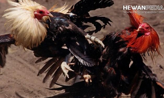 Cara Merawat Ayam Aduan Dari Umur 0-7 Bulan agar Kuat dan Juara