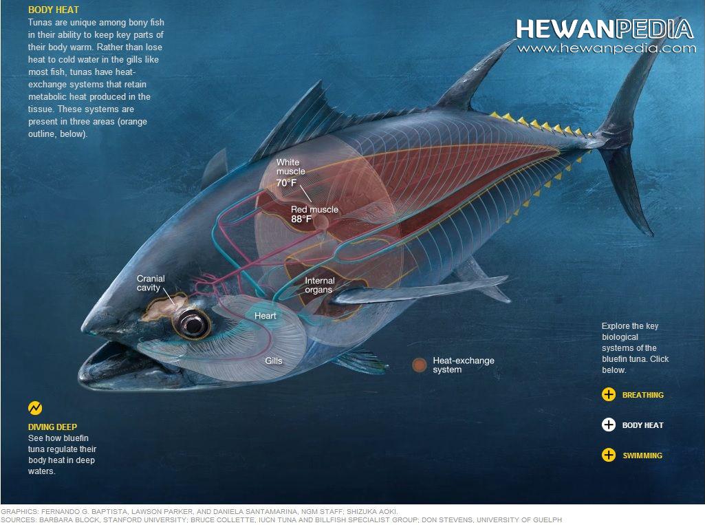 Ciri Fisik Ikan Tuna