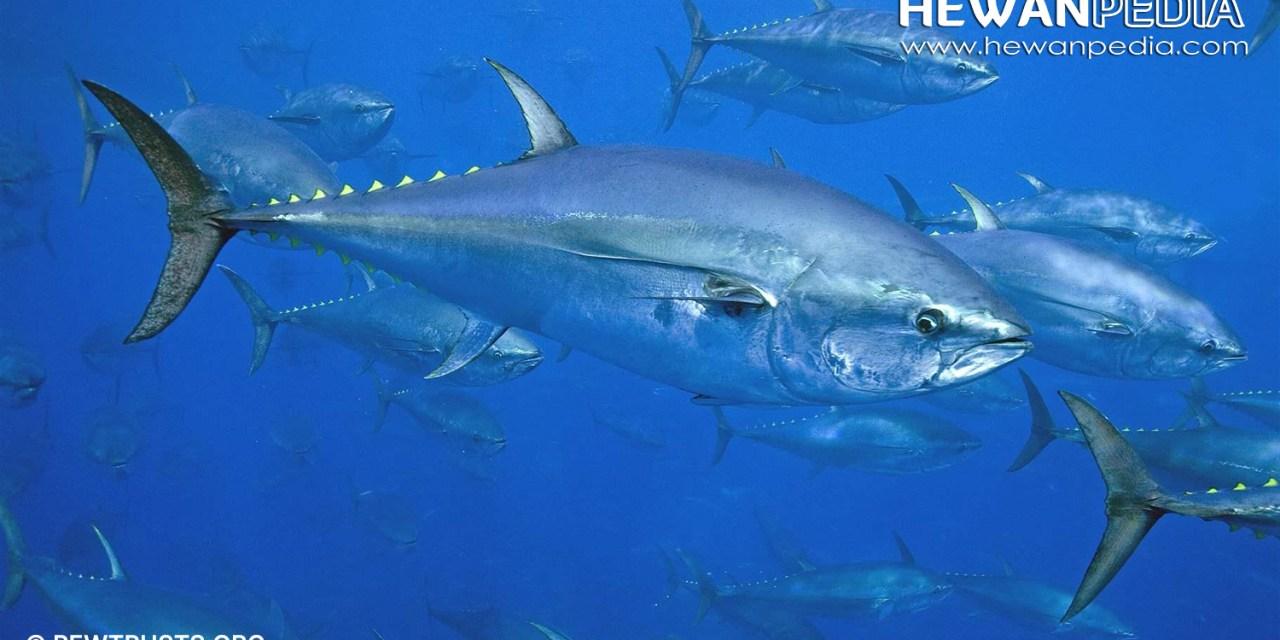 Mengenal Ciri-ciri Lengkap Ikan Tuna