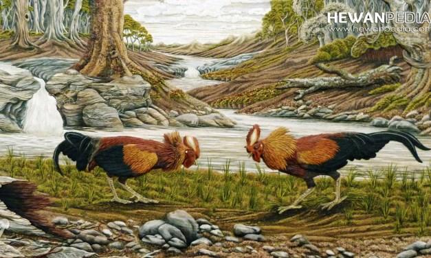 5 Mitos Memelihara Ayam Bangkok Aduan menurut Kejawen