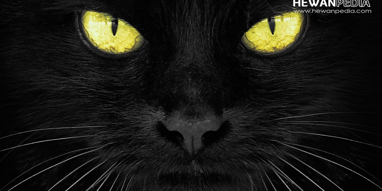 Asal Muasal Mitos Kucing Hitam Membawa Sial
