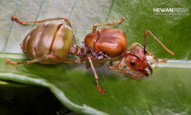 Fungsi dan Ciri Ratu Semut Rangrang dalam Koloni
