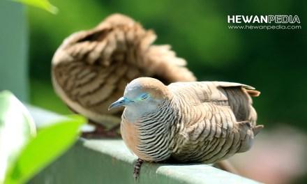 Ciri dan Cara Mengatasi Penyakit Kembung pada Burung Perkutut