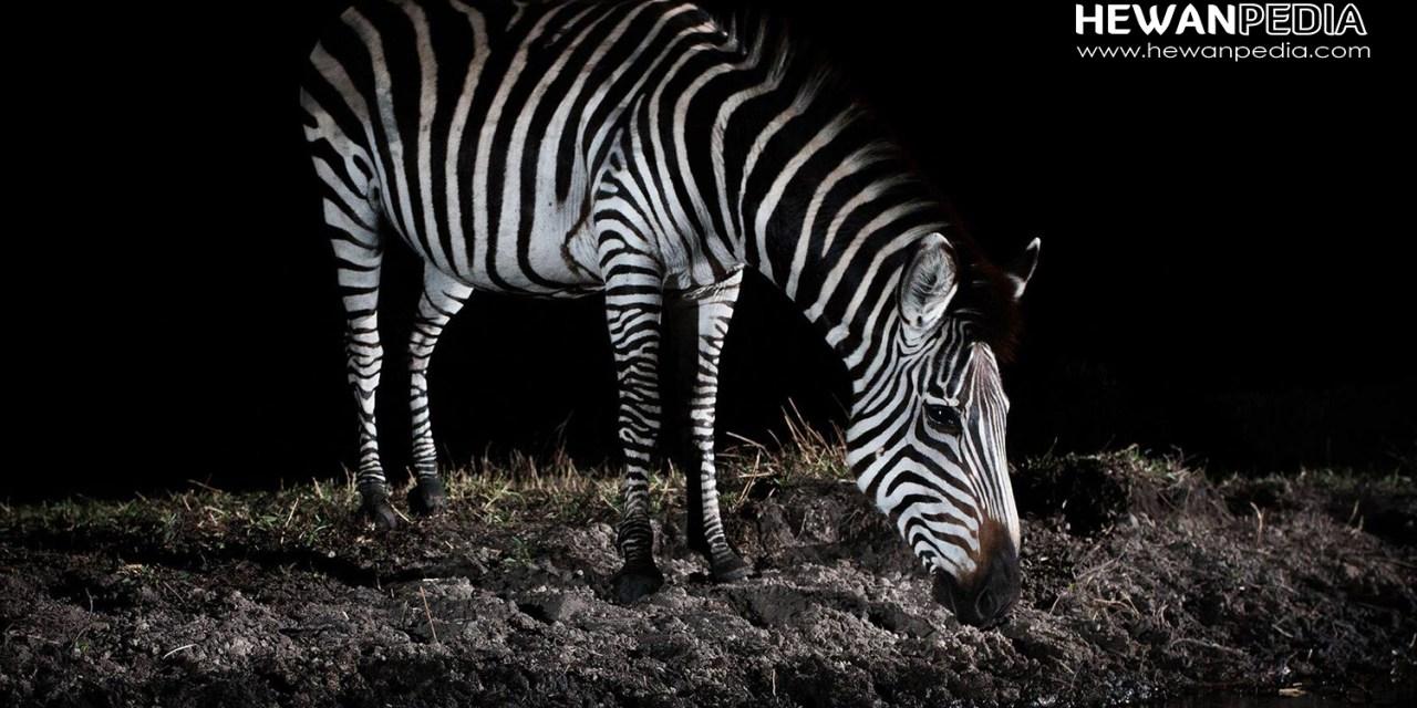 25 Arti Mimpi Bertemu Zebra Menurut Primbon Jawa