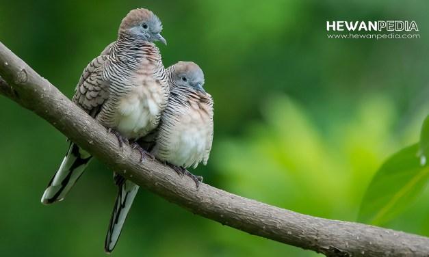 Mengenal Burung Perkutut dan Ciri Khasnya