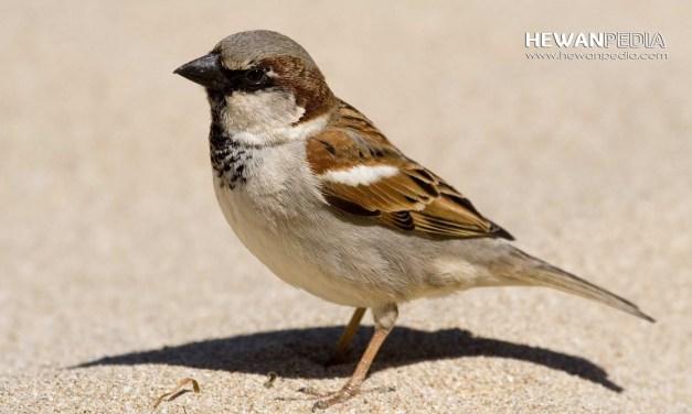 Mengenal Burung Gereja dan Berbagai Faktanya