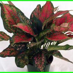 tanaman hias di dalam ruangan,tanaman hias viral, tanaman hias unik, tanaman hias mahal, tanaman hias 2020, tanaman hias indonesia,cara merawat tanaman hias, cara merawat tanaman hias dalam ruangan