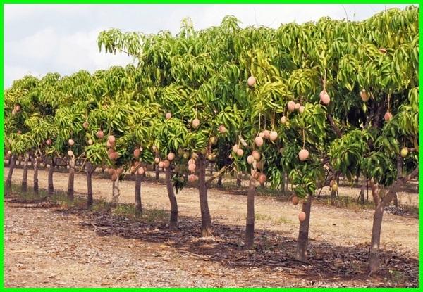 cara budidaya mangga biar cepat berbuah, menanam mangga agar cepat berbuah, menanam mangga cepat berbuah, cara menanam mangga cepat berbuah, budidaya mangga, budidaya mangga dalam pot, cara budidaya mangga, cara budidaya mangga cepat berbuah, cara budidaya mangga agar cepat berbuah