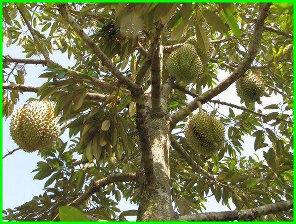 panen durian berapa lama, panen durian di pekarangan rumah, panen durian di halaman rumah, musim panen durian bulan apa, panen durian berapa tahun sekali, panen buah durian, durian panen berapa tahun, jadwal panen durian, cara panen durian, cara panen durian montong, kapan panen durian, jadwal panen durian di indonesia, jangka panen durian, lamanya panen durian, musim panen durian, masa panen pohon durian, umur panen pohon durian